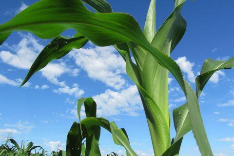 URI e IF Farroupilha lideram uma pesquisa em 14 parcelas de milho no Parque de Exposições Siegfried Ritter