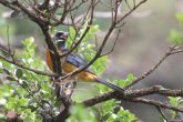 Sanhaçu-papa-laranja - Pássaro sanhaçu-papa-laranja (Pipraeidea bonariensis)