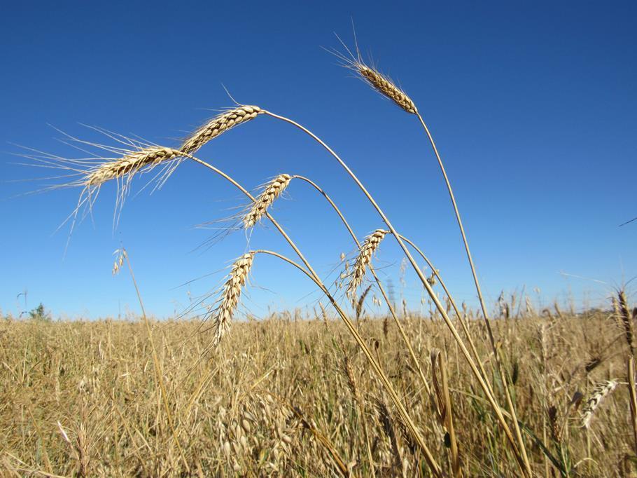 Plantio de Soja e colheita do trigo (8)