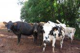 Produção leiteira no interior do município