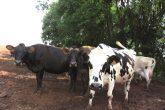 Produção leiteira - Vacas (46) (Copy)