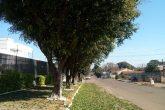 Ficus - queda das folhas (3) (Copy)