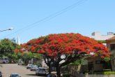 Flamboiã Rua IX de Novembro (4) (Copy)