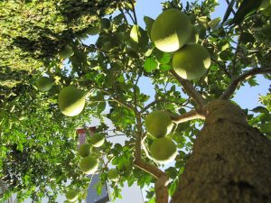 Pé de pomelos com os frutos ainda verdes - Foto:  Marcos Demeneghi