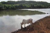 Vaca bebe a água do Rio Ijuí - Foto: Marcos Demeneghi
