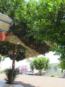 Pomeleiro com frutos protegidos na rua Antunes Ribas em Santo Ângelo - Foto: Marcos Demeneghi