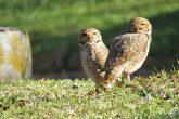 Foto: Marcos Demeneghi - Casal de corujas buraqueiras no Parque de Exposições Siegfried Ritter em Santo Ângelo