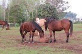 A ONG Pé de Pano de Santo Ângelo arrenda quatro hectares onde os cavalos resgatados se recuperam