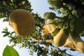 Inflorescencia do Citrus maxima ou Citrus grandis - Popular pomelo. Espécie fotografada esta semana em Santo Ângelo com flores e frutos no mesmo exemplar - Foto Marcos Demeneghi