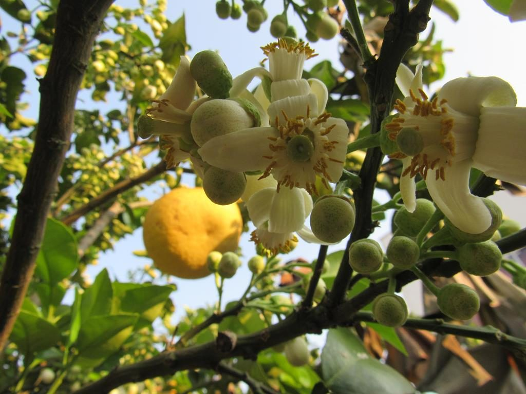 Inflorescencia do Citrus maxima ou Citrus grandis - Popular pomelo. Espécie fotografada esta semana em Santo Ângelo com flores e frutos no mesmo exemplar | Foto: Marcos Dmeneghi
