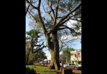 Guapuruvu-Árvore-de-lutzemberger-Copy-360x250.png