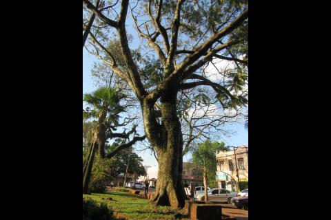 Árvore na Praça Pinheiro Machado - Guapuruvu (Schizolobium excelsum vog) - Foto: Marcos Demeneghi