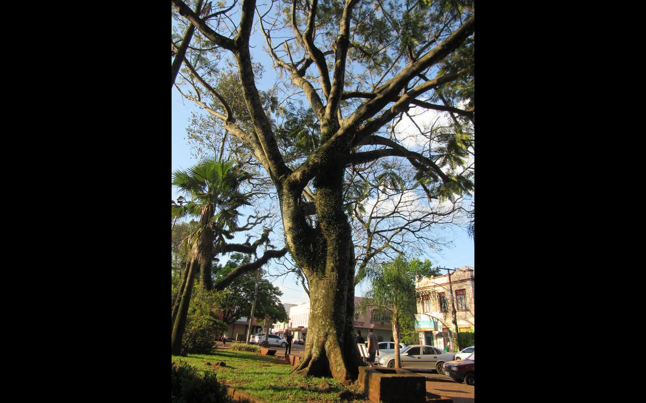 Guapuruvu - Árvore de lutzemberger (Copy)