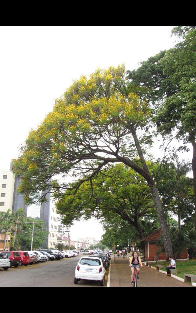 Guapuruvu na Praça Ricardo Leônidas Ribas