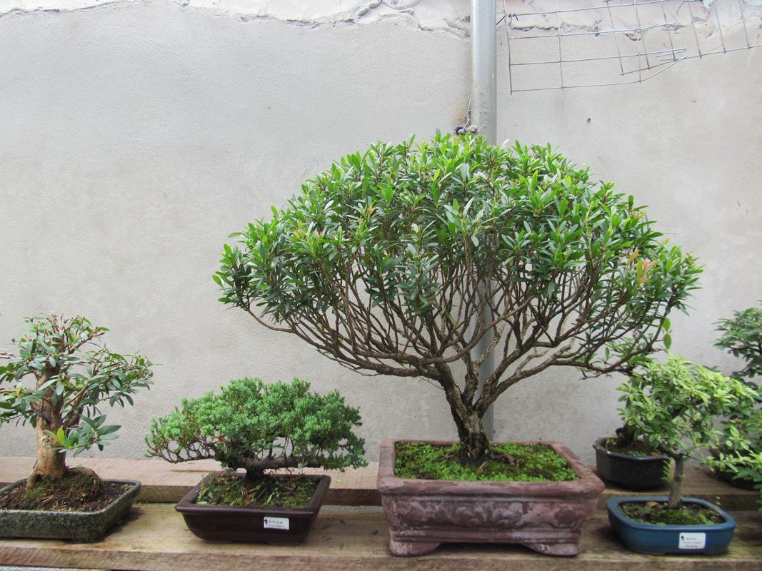 Bonsai - (61) (Copy)
