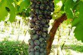 Cacho de uva na propriedade de Ilson Schroder - Foto : Ilson Schroder
