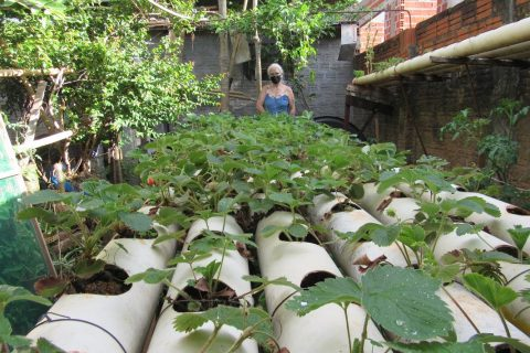 Plantação de Morangos em canos de PVC