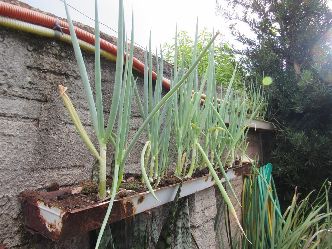 Plantio de cebolas em suportes reaproveitados de lâmpadas fluorescentes